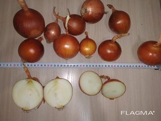 Golden onions from Kazakhstan