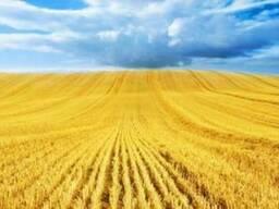 Пшеница кукуруза ячмень